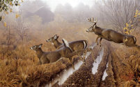 image morning run (whitetail deer) by jerry gadamus
