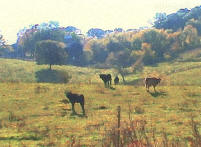 Cows in Field - image by Tom Crozier